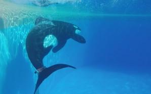Erste Studie im Loro Park über nicht-invasive Markierungsmethoden an Meeressäugern…