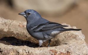 El turismo ornitológico tiene una cita con Los Realejos